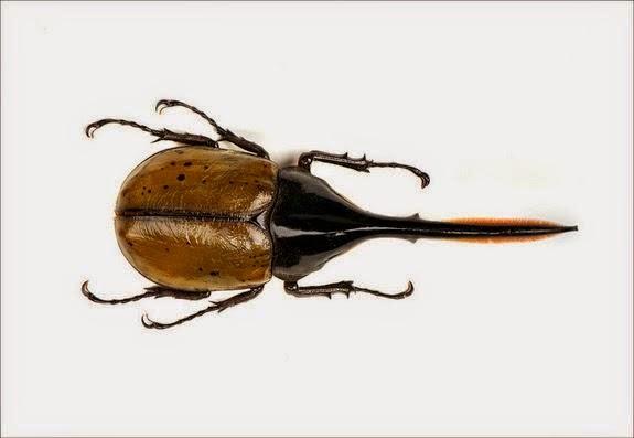 Kumbang Hercules