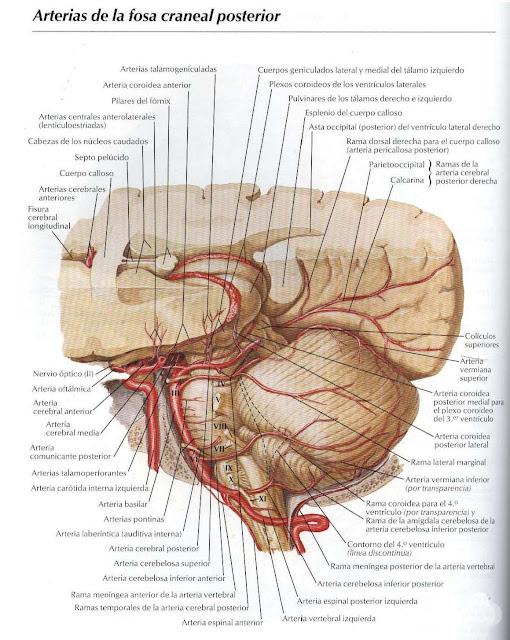 Atractivo Fosa Posterior Anatomía Imágenes - Anatomía de Las ...