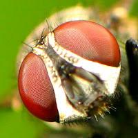 Mata Lalat Kedokteran