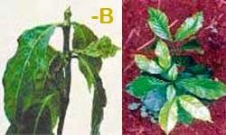 Kurang-unsur-hara-boron-b-pupuk-organik-nasa
