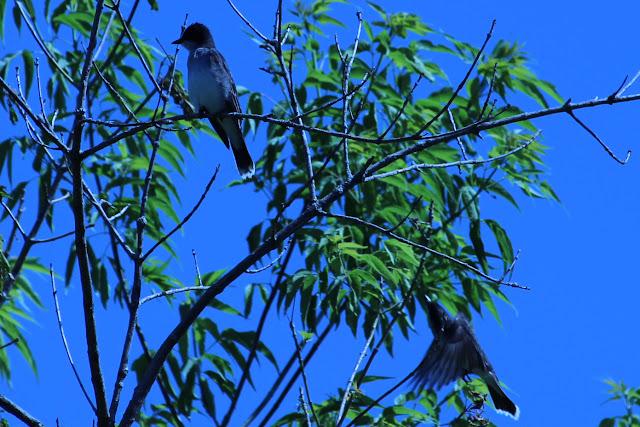 eastern kingbird flutter continued
