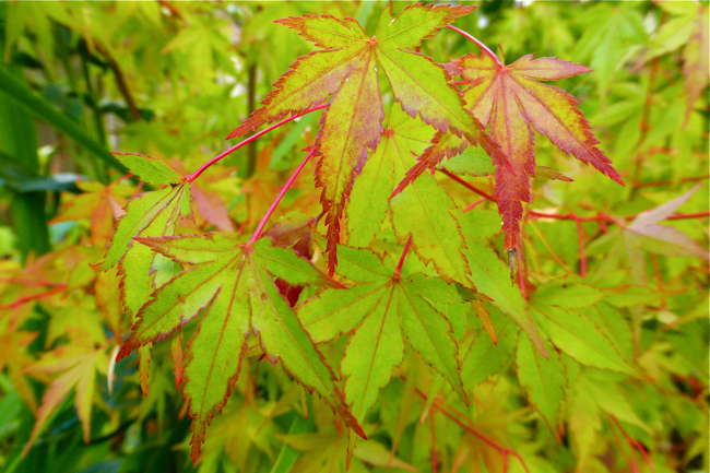 Japanese maple, maple, red, green, garden
