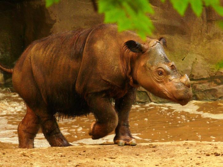 Hewan Langka Indonesia badak Sumatra