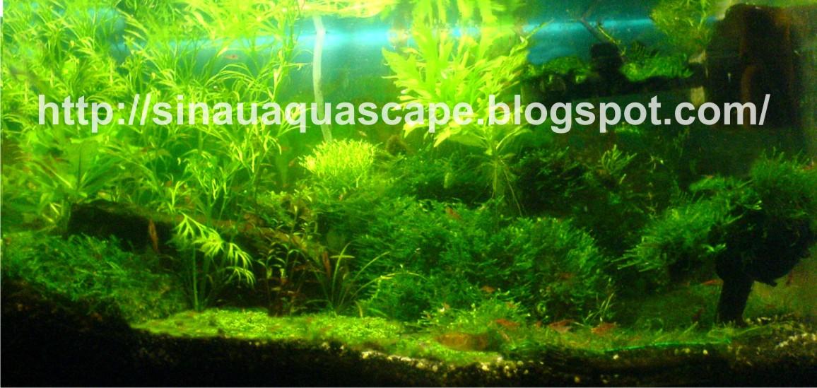 Aquascape tanpa CO2