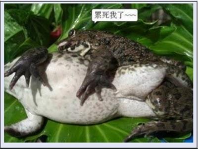 Inilah Foto-Foto Binatang Kodok Lagi Kawin, Mirip Manusia Gan HOT ...