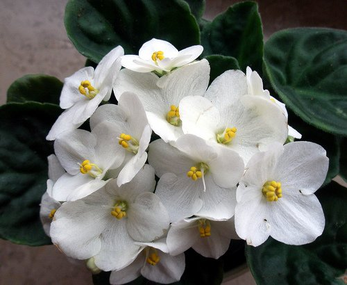 flowers for flower lovers.: White African Violet Grow ...