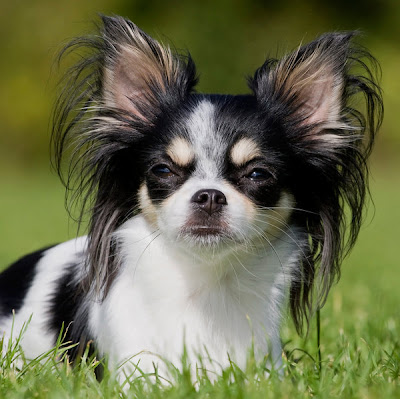 chihuahua-dog-breed