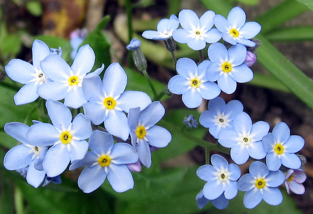 Forget-me-not, Myosotis species, self-seeded in a garden in Hayes. 15 April 2011.