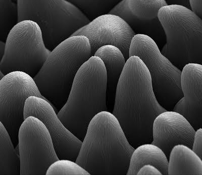 epidermis petalo mazus