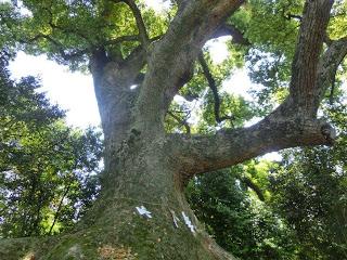 壺井八幡宮の楠