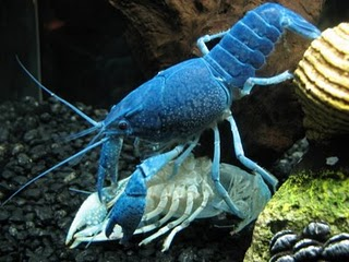 Cara Budidaya Lobster Air Tawar Aquarium