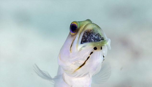 سمكة الرأس الاصفر YRgaZ