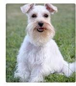 são mais inteligentes, os cães mais intuitivos do mundo, fácil de treinar, leal, e têm personalidades muito distintas.