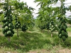 Manfaat tersembunyi buah pepaya bagi kesehatan kita