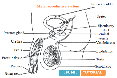 Male Dog Reproductive System