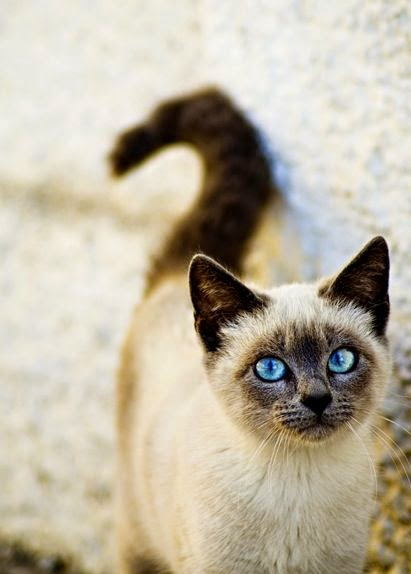 5 Cat Breeds With Long Lifespans