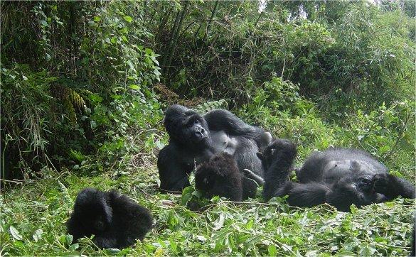 foto gorila - gambar hewan