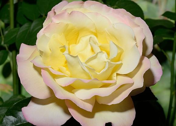 Gloria Dei rose сорт розы фото