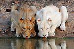 Xakubasa Pride (White Pride)