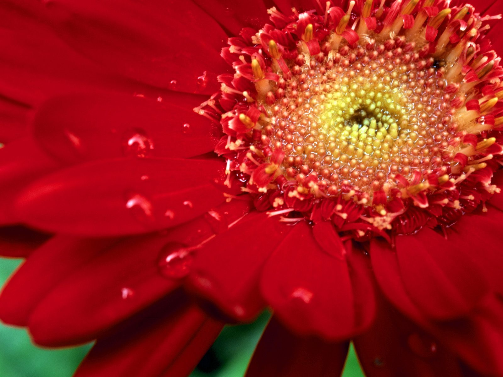 amazing red flower wallpapers - photo #15