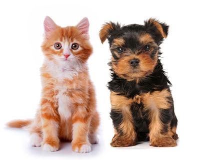 Y usted, ¿qué prefiere de mascota, un perro o un gatito?