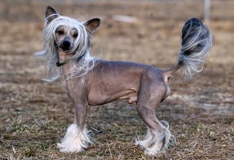 Cuidados de la piel Chinesse Crested Dog