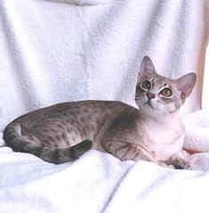 Mengenal Kucing Australian Mist, kucing yang paling suka tidur di pangkuan