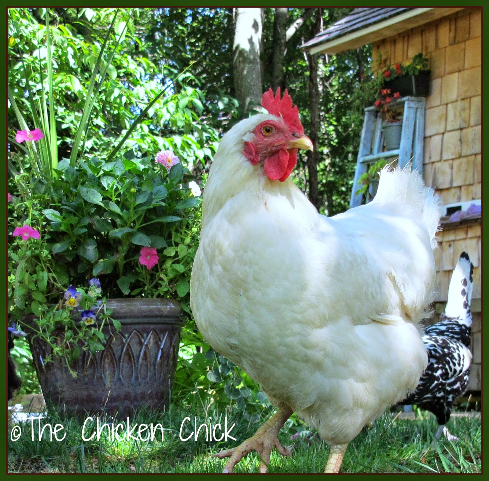 Raising Chickens Naturally- The Inside Story from Its ... Raising Chickens