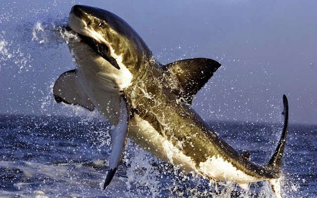 16762-Great White Shark Eating Seal Animal HD Wallpaperz
