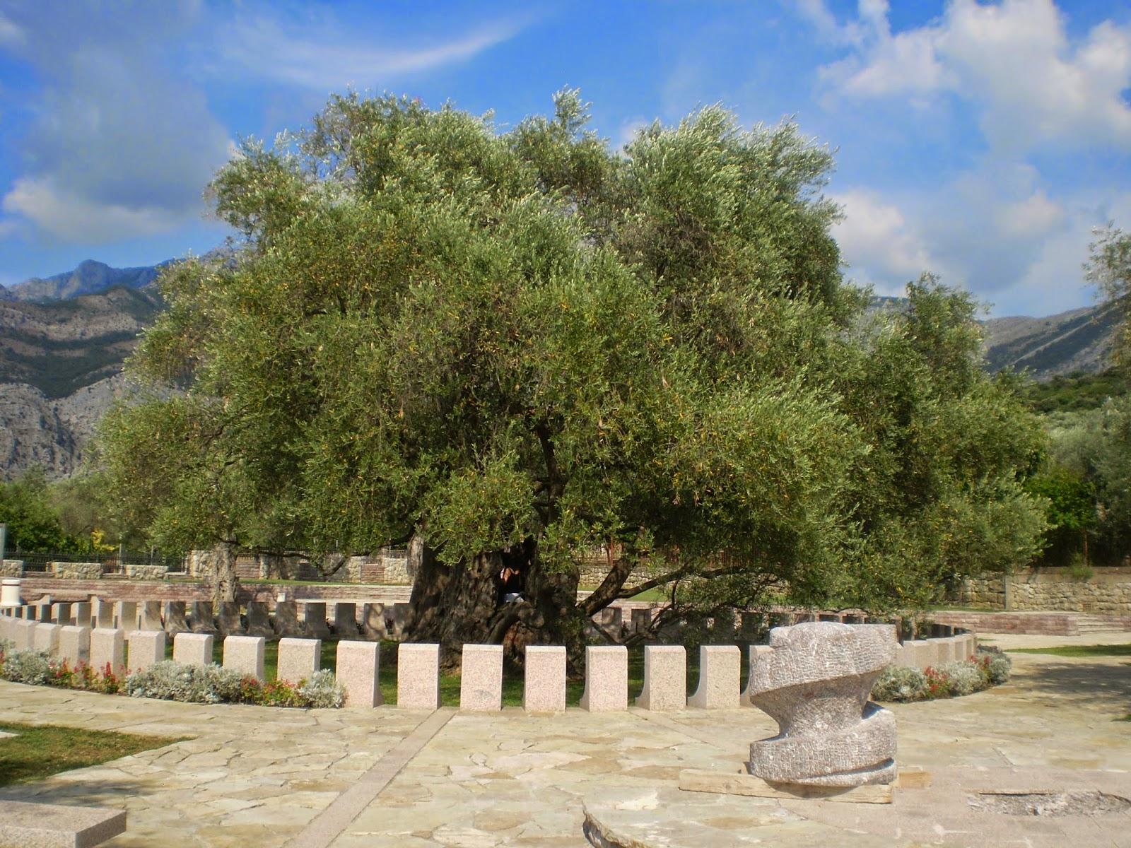 Giant-Olive-Tree