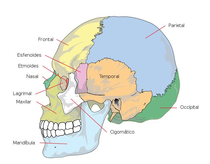 Cuales+son+los+huesos+de+la+cabeza