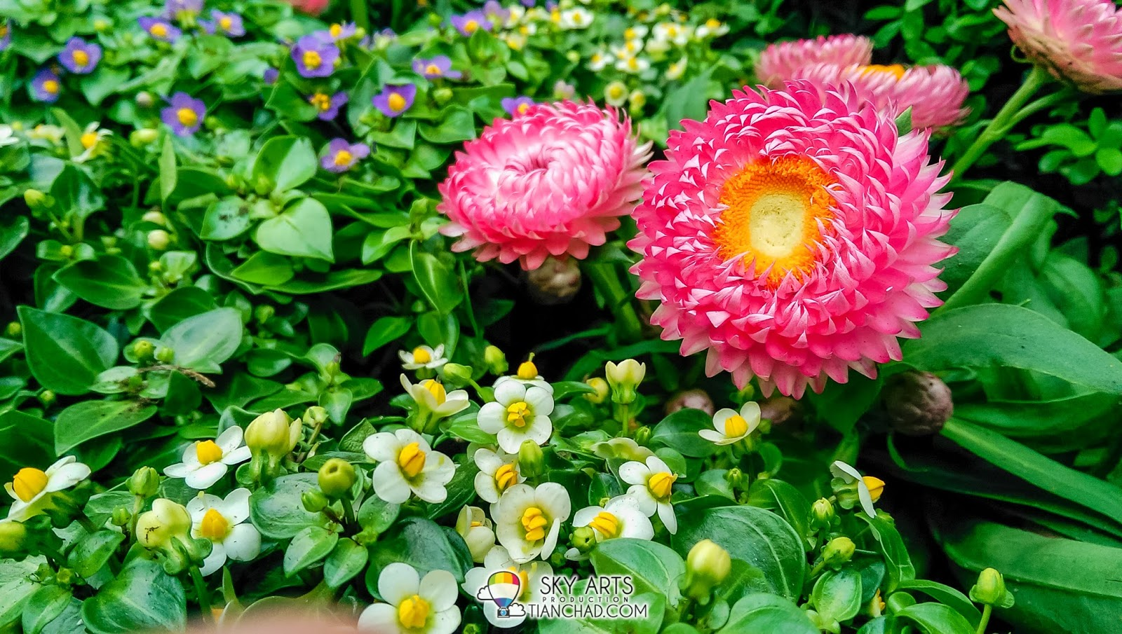 Colorful combination of real flowers blooming at Flower Dome @ Gardens by the Bay