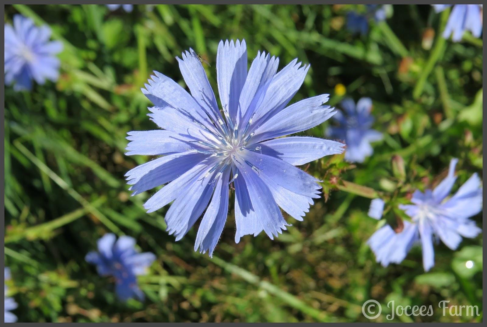 Chicory @ joceesfarm.blogspot.com