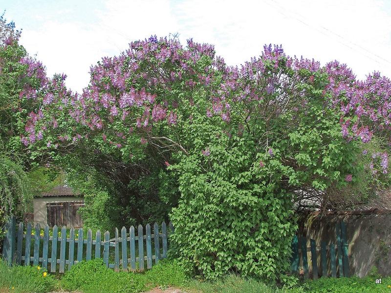 Eculieu le hameau le temps des lilas - Au jardin de mon pere les lilas sont fleuris ...