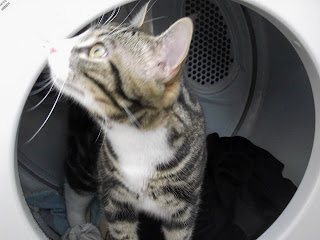 Tabby in dryer