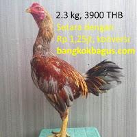 harga ayam bangkok birma dan gambar ayam bangkok birma