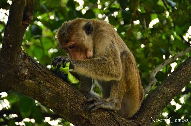 mono en Sri Lanka con comida robada