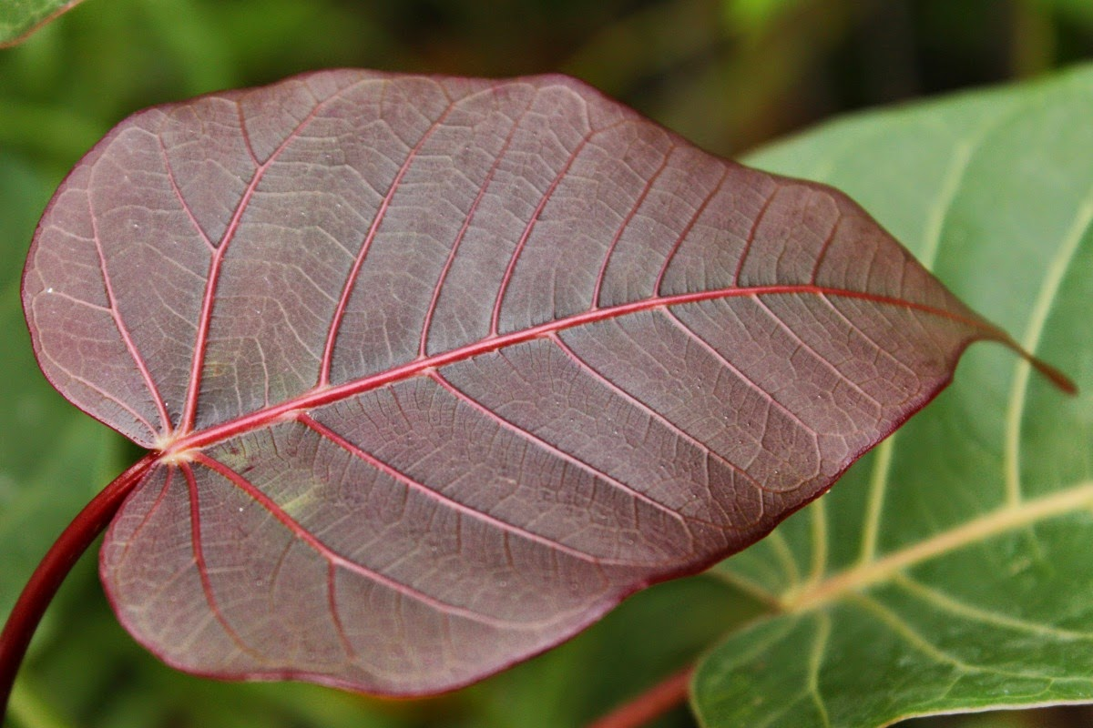 banyan tree leaf - photo #18