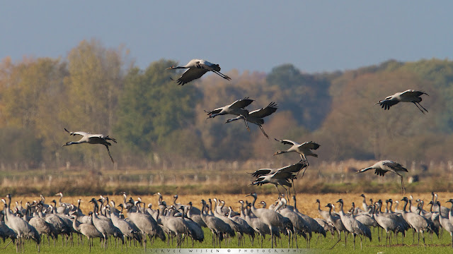 Cranes feeding on cornfields
