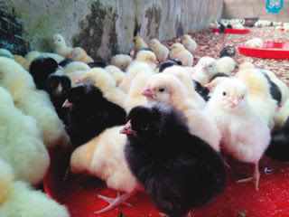 A section of Oghenne's poultry farm