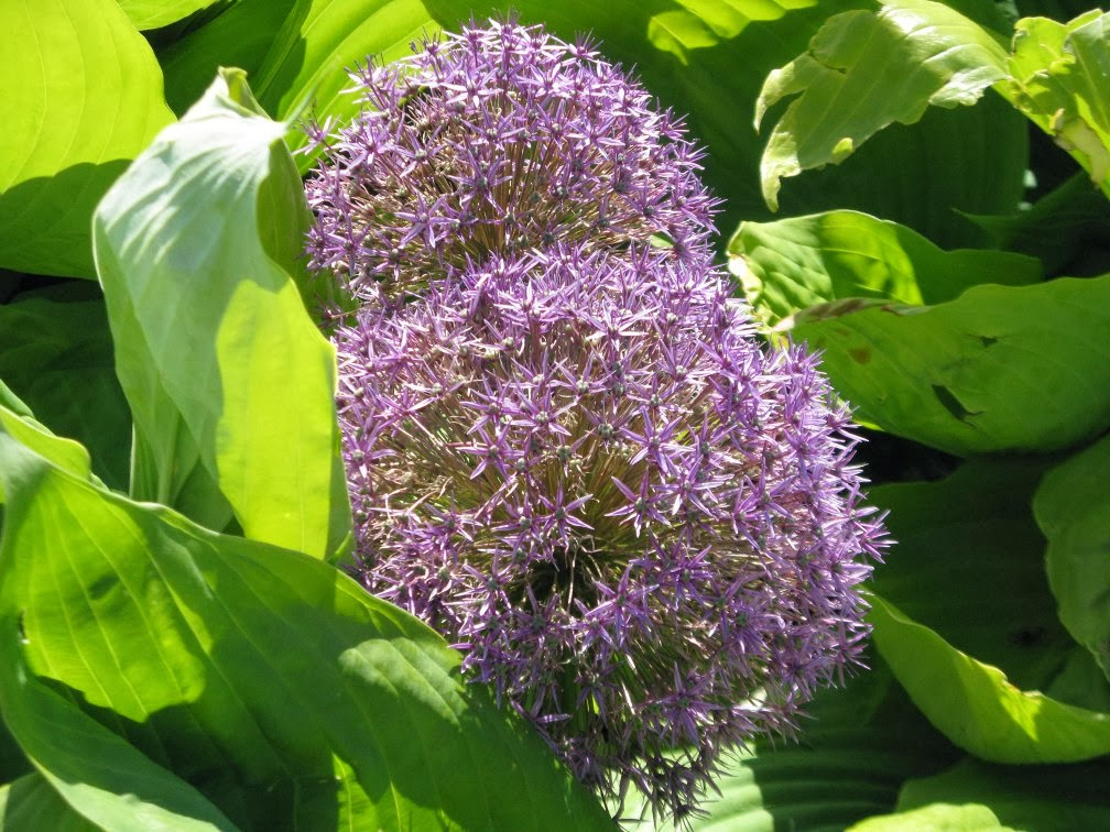 "llium hollandicum ""Purple Sensation"" and  ""Sum and Substance"" hosta by garden muses-not another Toronto gardening blog"