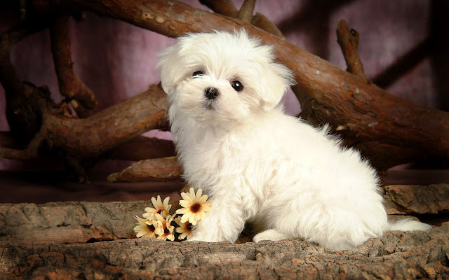 Animal wallpaper maltese dog
