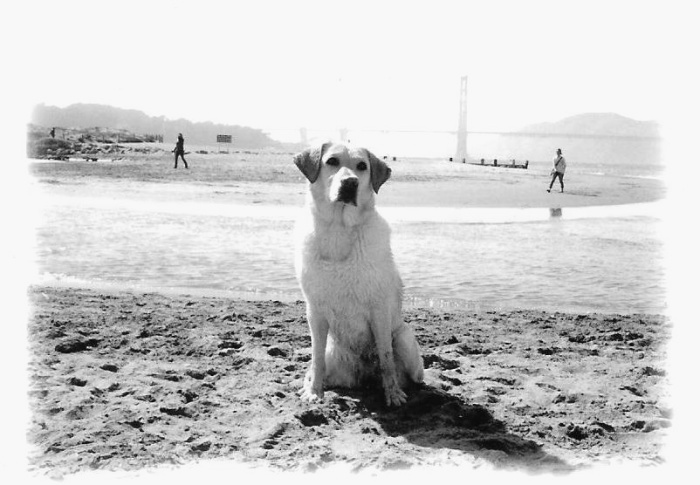 old fashioned looking black and white image of cabana sitting with her gaze tilted upward, golden gate bridge in the background