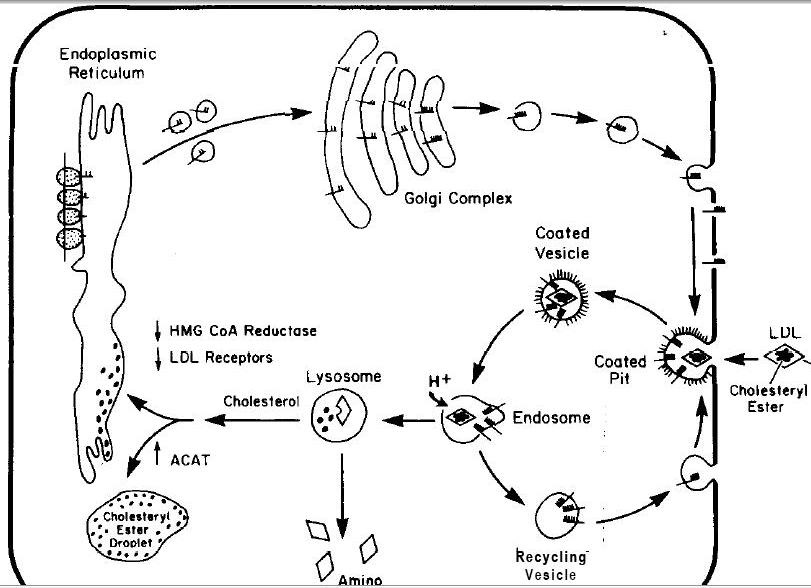 cholesterol molecule