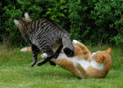 Foto kucing berantem yang keren 01