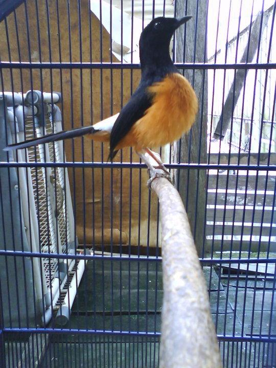Jenis Burung Murai Batu Kalimantan