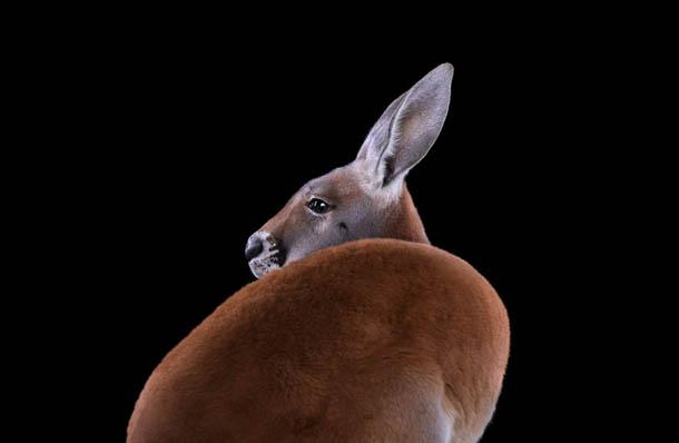 fotografia de animais selvagens- Brad Wilson - canguru