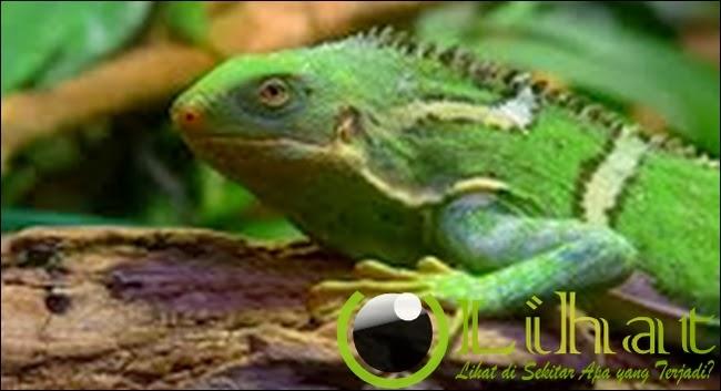 Iguana, Wew...