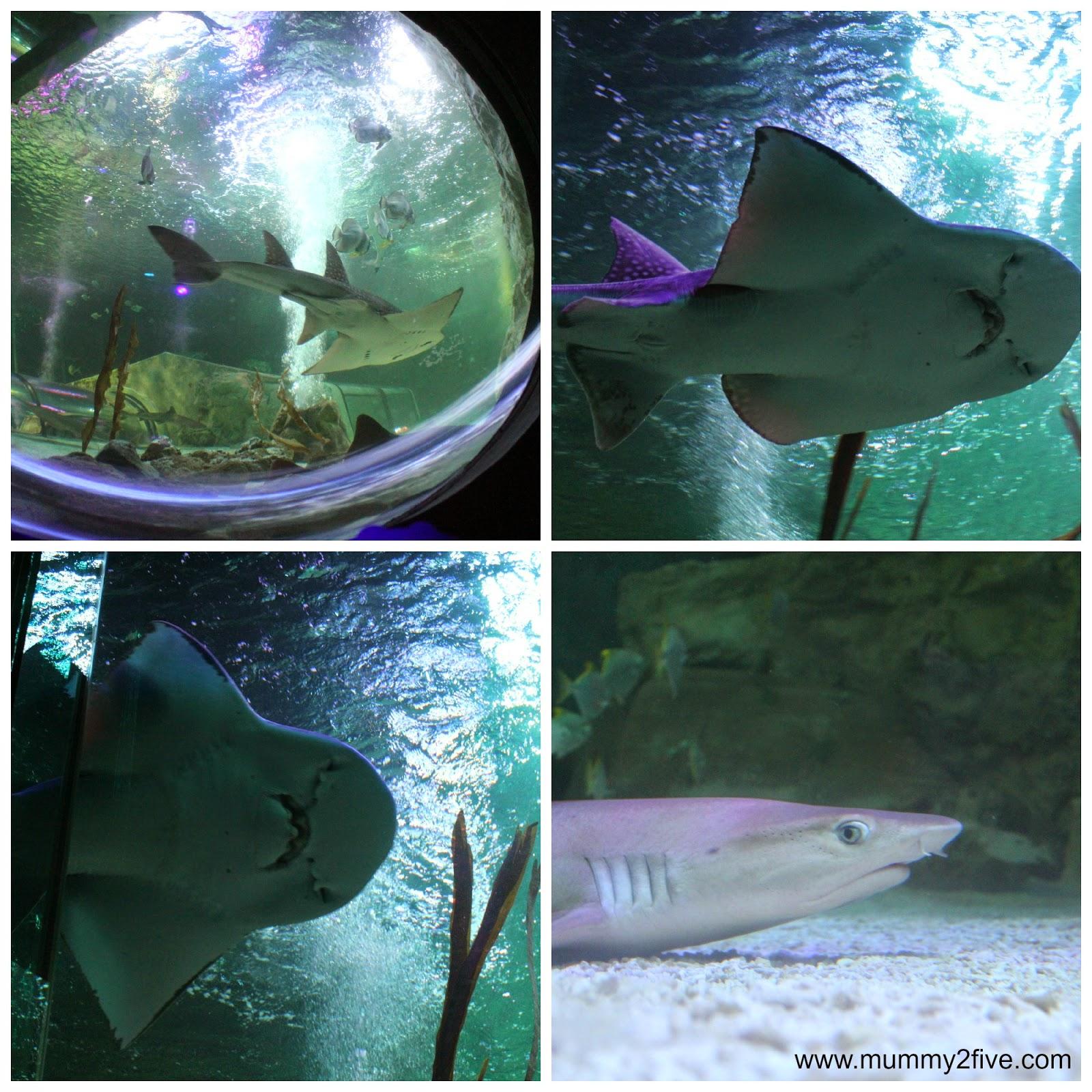 Bowmouth guitar shark and black tip reef shark