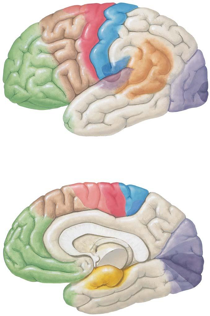 Corteza cerebral: localización de las vías de función y asociación ...